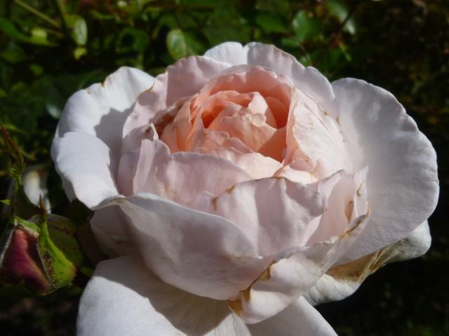 roses de mon jardin P1020415