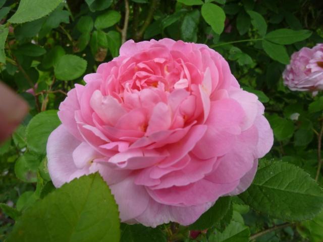 roses de mon jardin Rose_r10