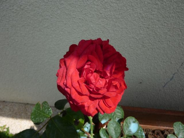 roses de mon jardin Rosier10