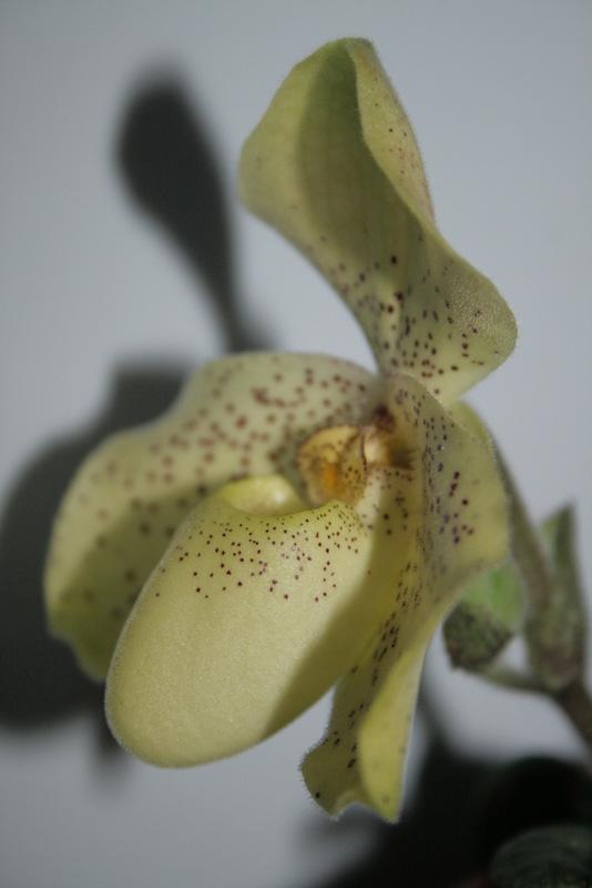 Paphiopedilum concolor Img_2312