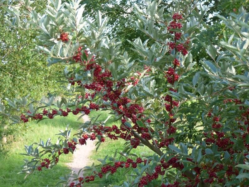 Arbuste à baies rouges ( resolu : Eleagnus umbellata ) 127