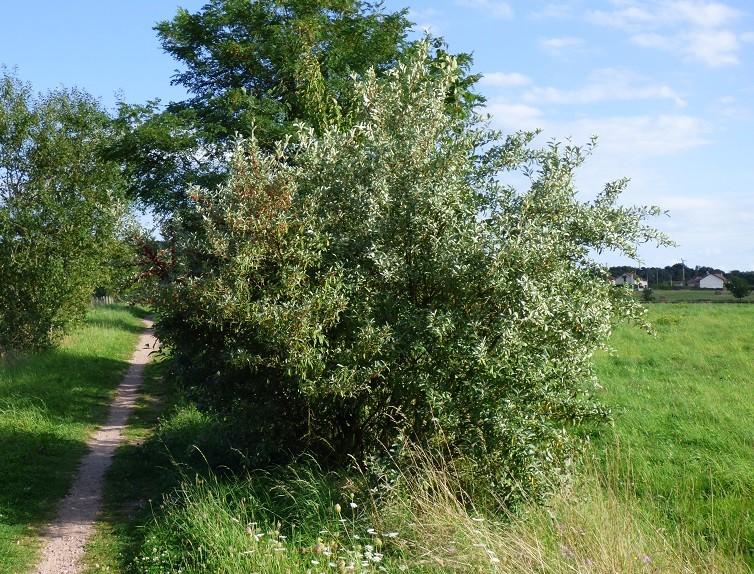 Arbuste à baies rouges ( resolu : Eleagnus umbellata ) 518