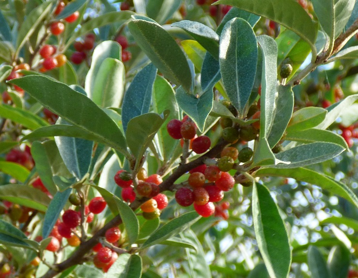Arbuste à baies rouges ( resolu : Eleagnus umbellata ) 618