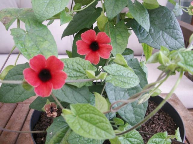 Quelques fleurs chez moi Pict0914