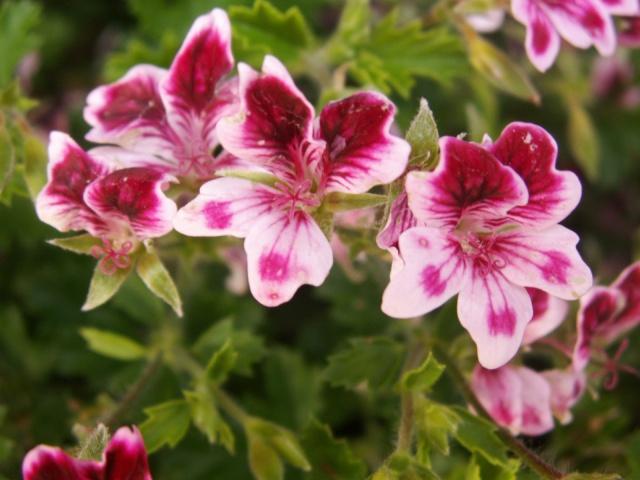 Quelques fleurs chez moi Pict0915