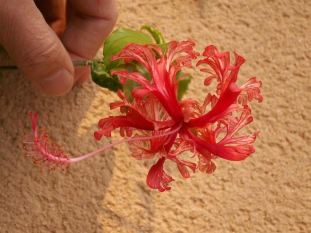 Hibiscus schizopetalus Pict0917