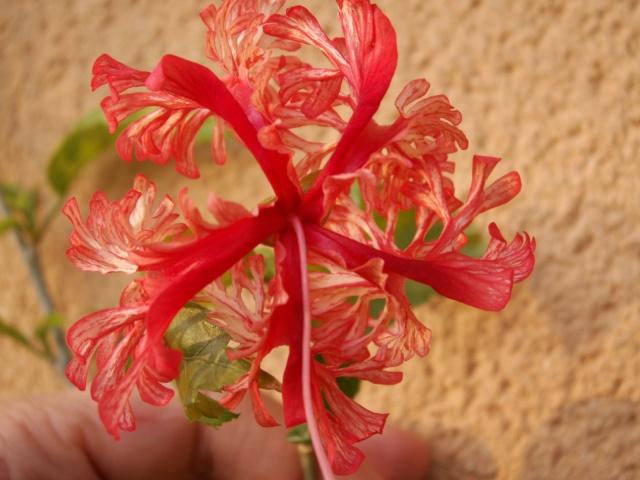 Hibiscus schizopetalus Pict0918