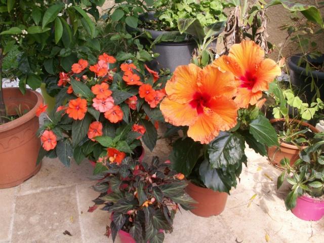 Fleurs orange !!!!! Hibiscus Pict0919
