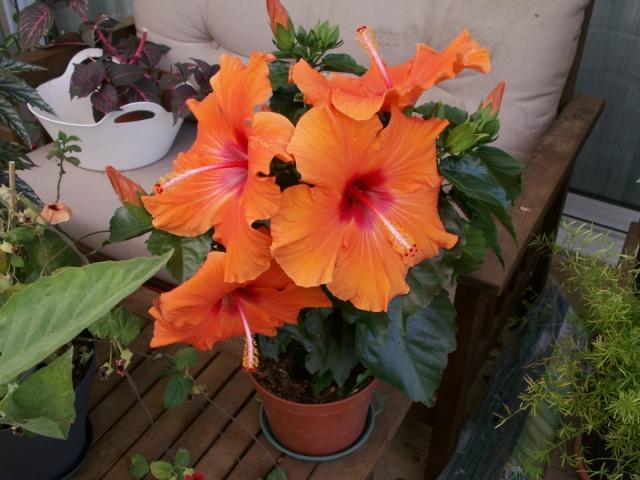 Fleurs orange !!!!! Hibiscus Pict0936