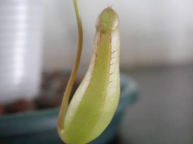 Nepenthes de Boyome Pict1041