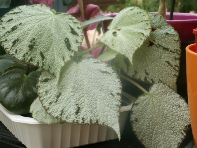 Begonia silver jewel Pict1110