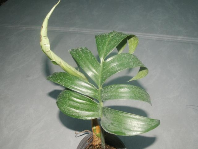 Raphidophora  decursiva Pict1111
