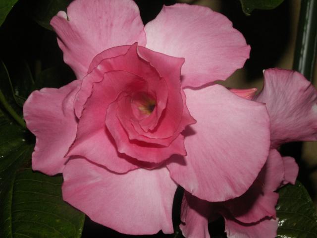 Fleurs de mandevilla Pict1128