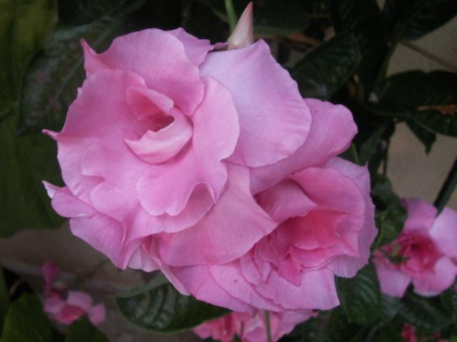Fleurs de mandevilla Pict1129