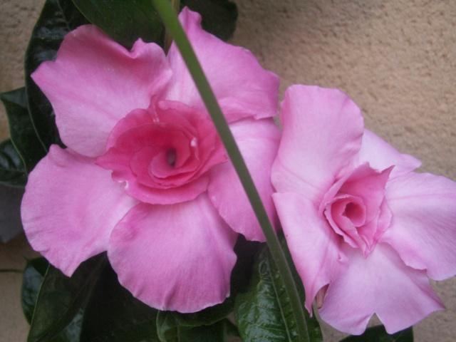 Fleurs de mandevilla Pict1130