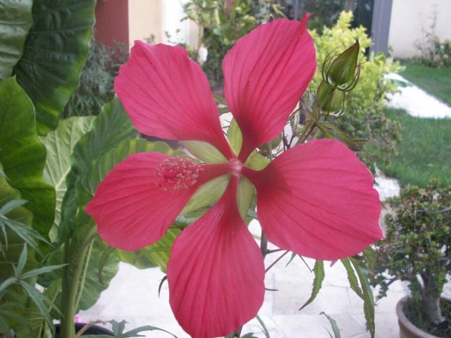 Hibiscus moscheutos et Hibiscus coccineus Pict1133
