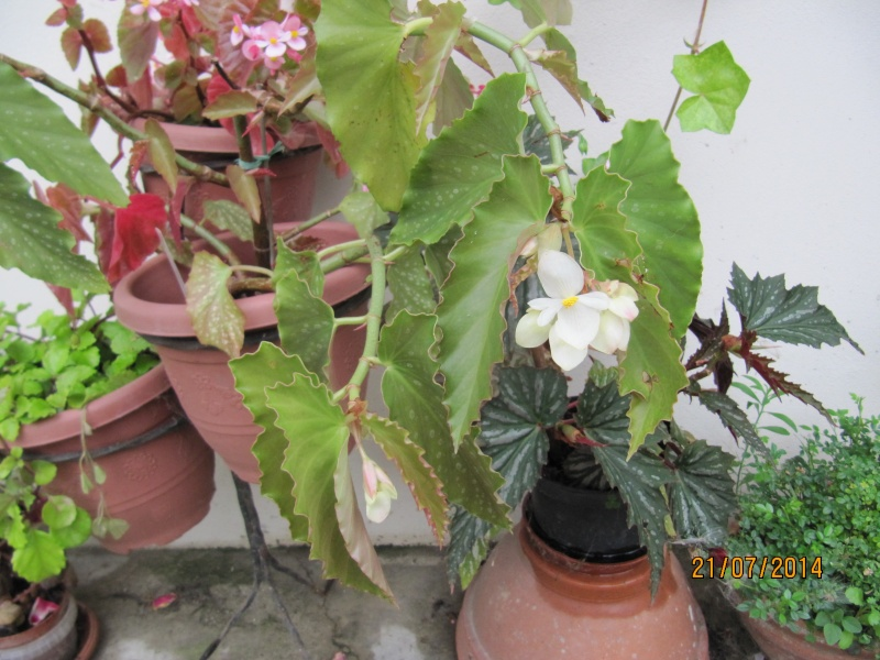 B Dichroa  et B .Maculata var wrightii Img_3413