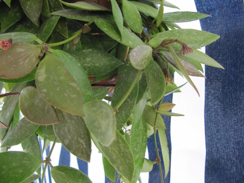 Hoya mémoria (Gracilis ) - Page 2 Img_3414