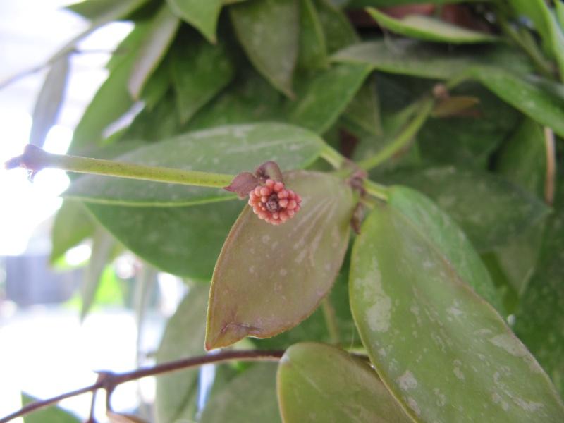 Hoya mémoria (Gracilis ) - Page 2 Img_3415