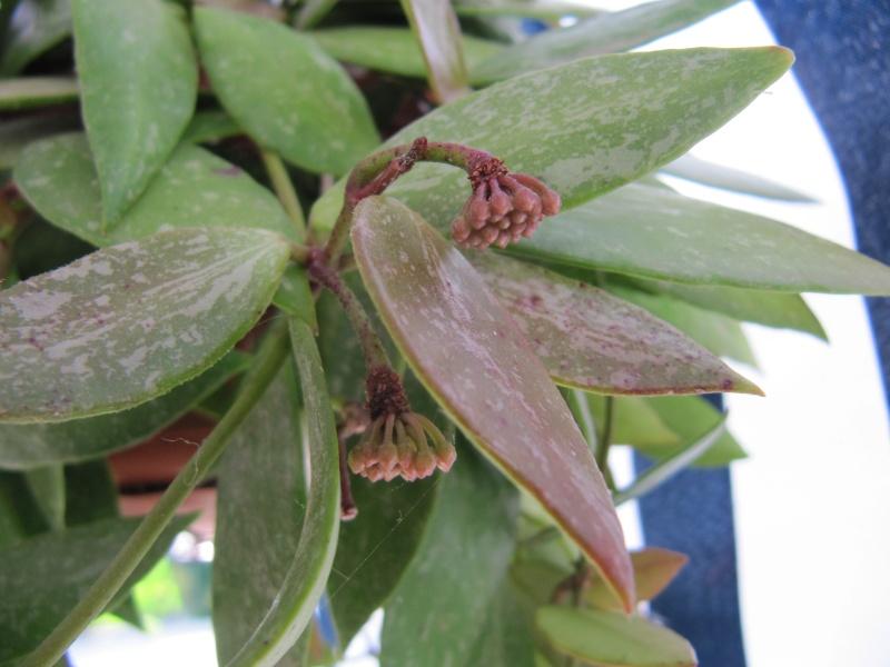 Hoya mémoria (Gracilis ) - Page 2 Img_3417