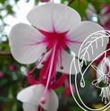 Fuchsia de chez Delhommeau. _500_e10