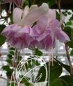 Fuchsia de chez Delhommeau. _500_h10