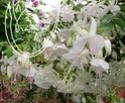 Fuchsia de chez Delhommeau. _500_t10