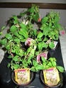 Fuchsia de chez Delhommeau. Img_3421