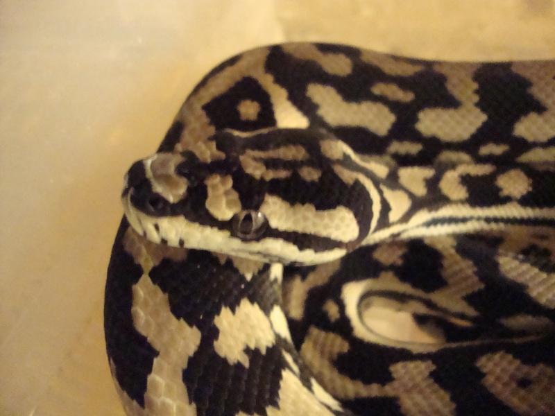 Cheynei femelle Dsc01414