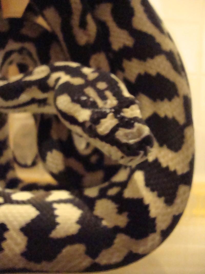 Cheynei femelle Dsc01415