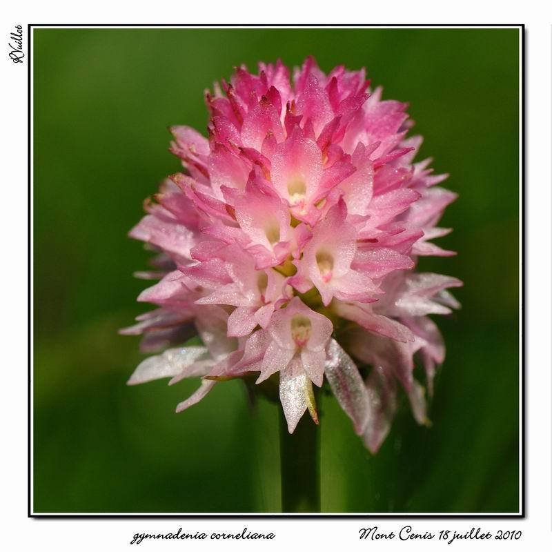 Gymnadenia ( Nigritella ) corneliana ( N.de Cornelia ) 10-07113