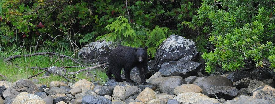 [Canada] Ouest canadien, des orchidées et des ours - Page 3 Bear-210