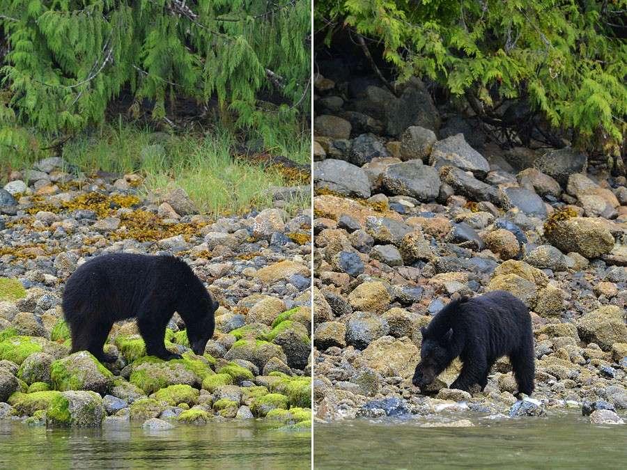[Canada] Ouest canadien, des orchidées et des ours - Page 3 Bear-310