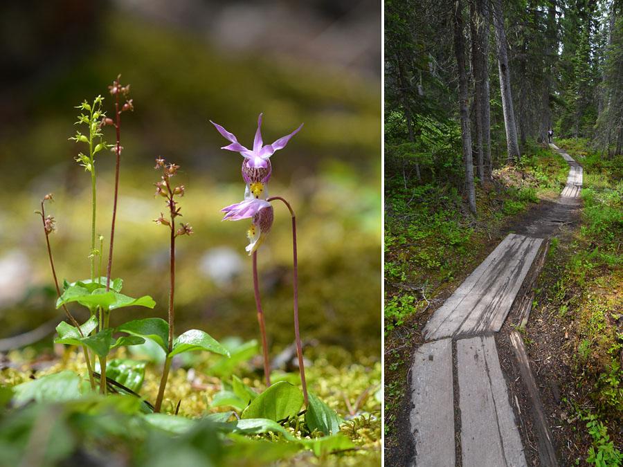 [Canada] Ouest canadien, des orchidées et des ours - Page 3 Cordat12