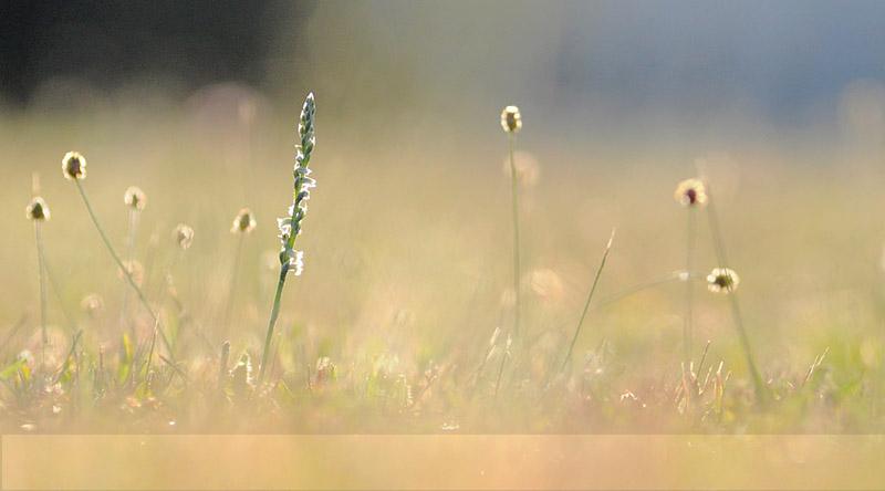 Spiranthes spiralis  ( Spiranthe d'automne ) Dsc_0016