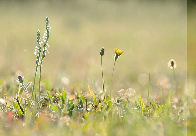 Spiranthes spiralis  ( Spiranthe d'automne ) Dsc_0017