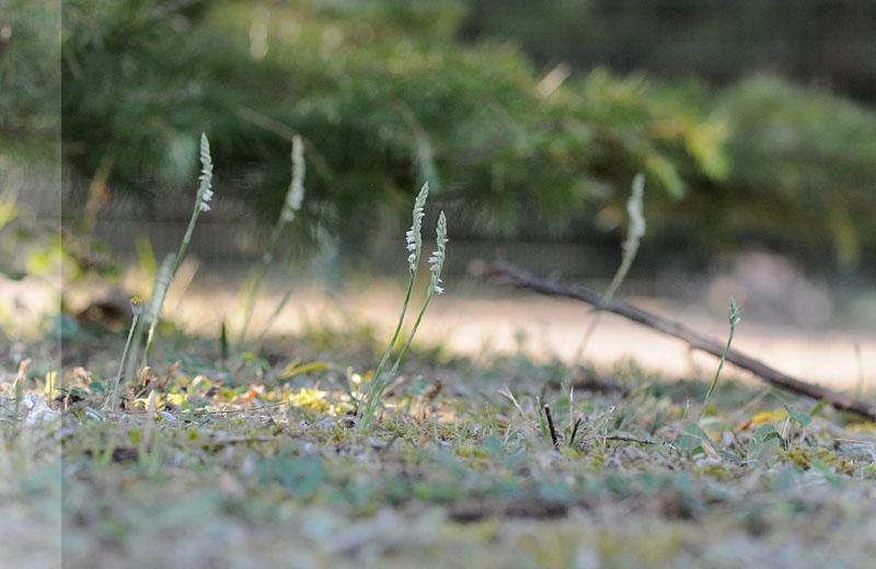 Spiranthes spiralis  ( Spiranthe d'automne ) Dsc_0018