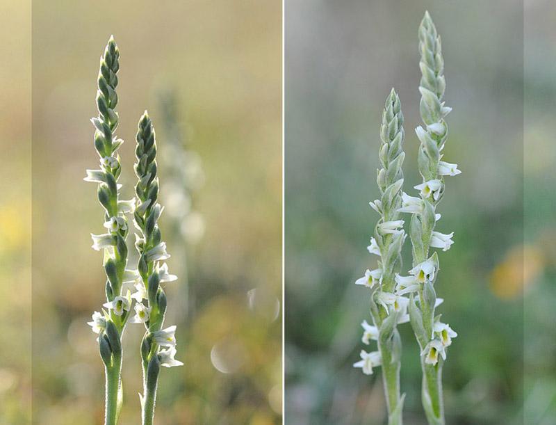 Spiranthes spiralis  ( Spiranthe d'automne ) Dsc_0019
