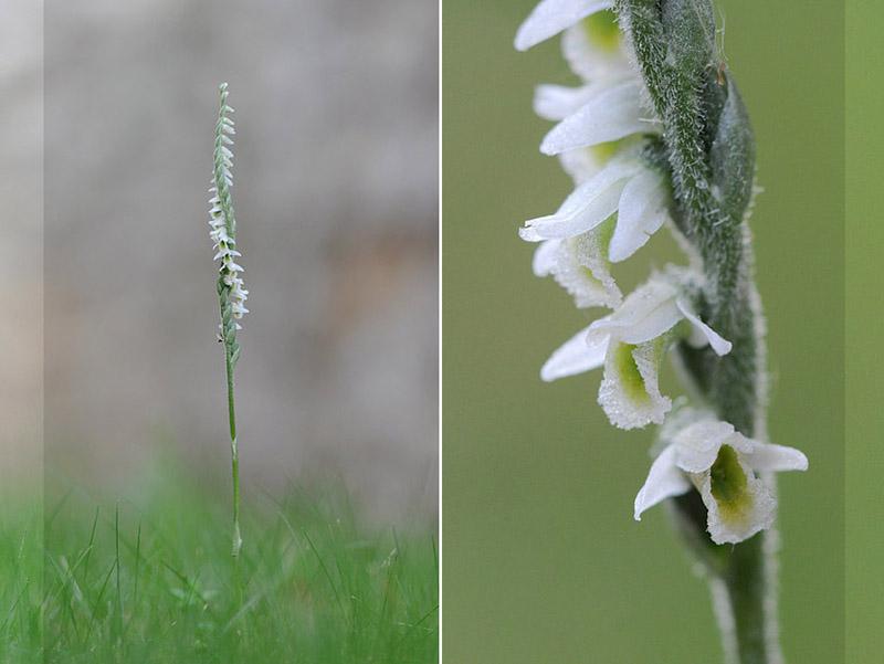 Spiranthes spiralis  ( Spiranthe d'automne ) Dsc_0111