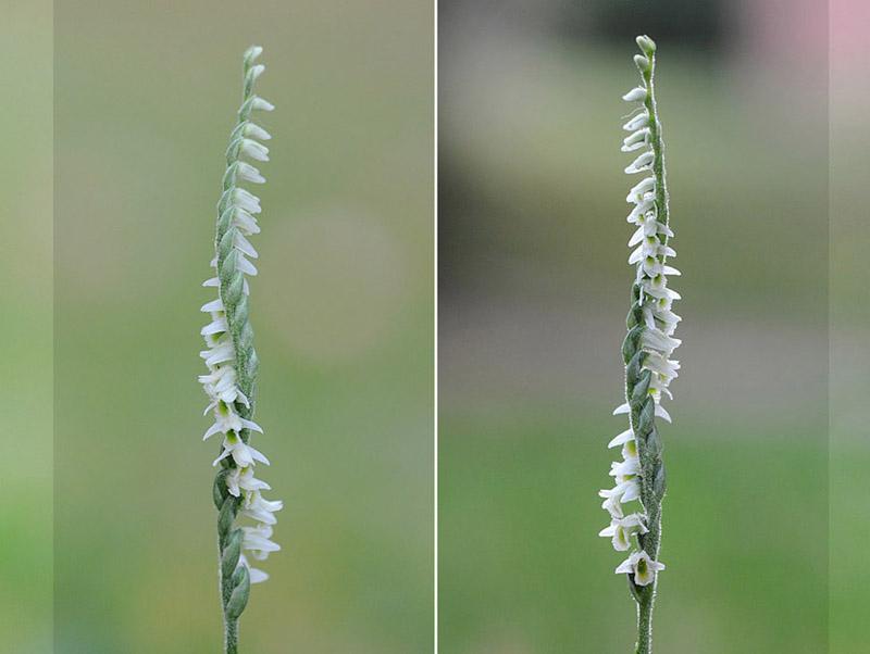 Spiranthes spiralis  ( Spiranthe d'automne ) Dsc_0112