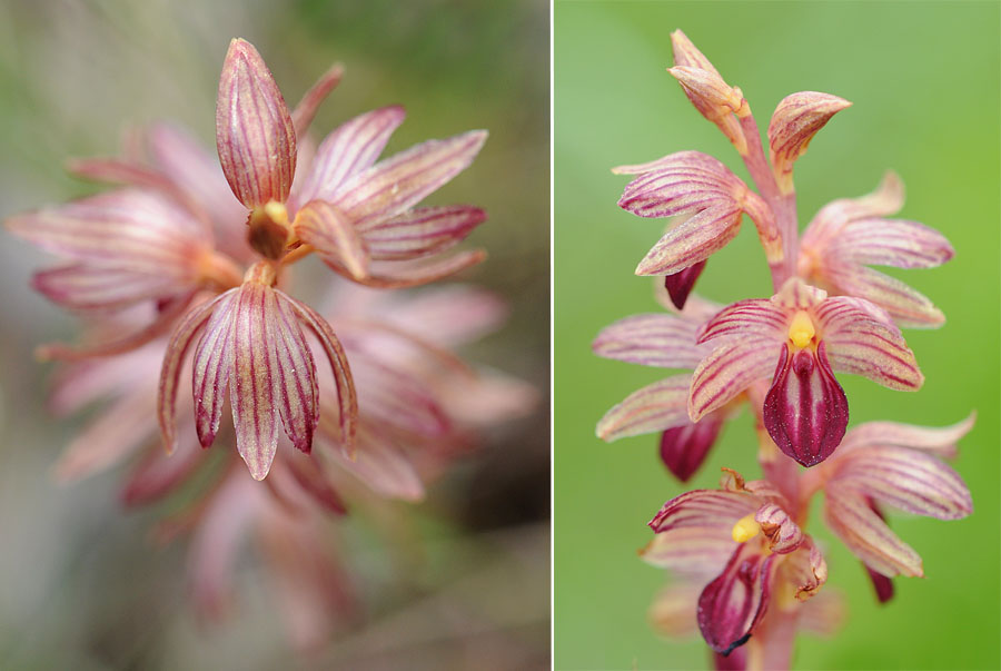 [Canada] Ouest canadien, des orchidées et des ours Dsc_0210