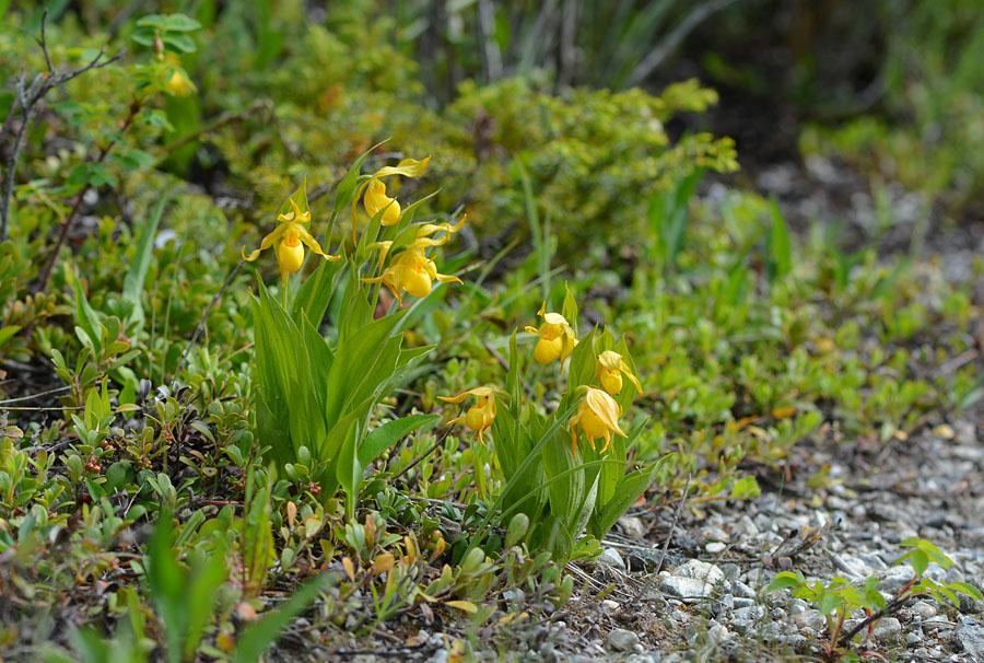 [Canada] Ouest canadien, des orchidées et des ours Jlr_3210