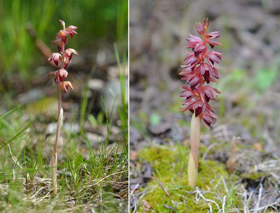 [Canada] Ouest canadien, des orchidées et des ours Jlr_3410