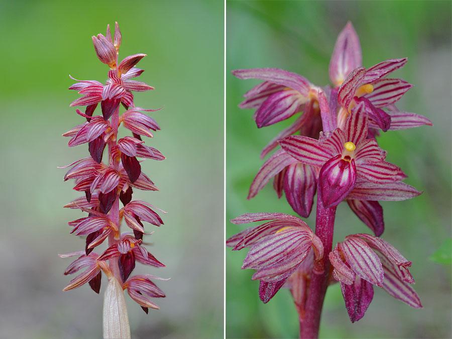 [Canada] Ouest canadien, des orchidées et des ours Jlr_3411