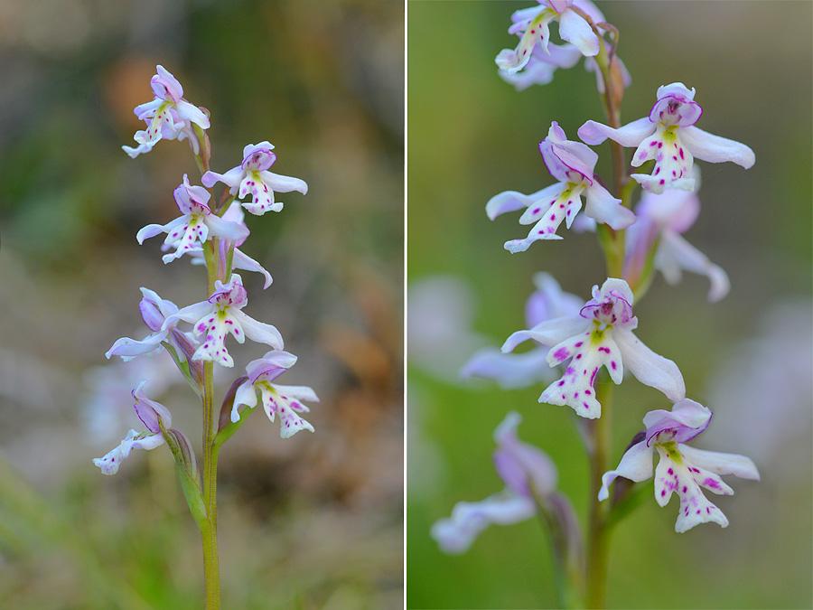 [Canada] Ouest canadien, des orchidées et des ours Jlr_3511