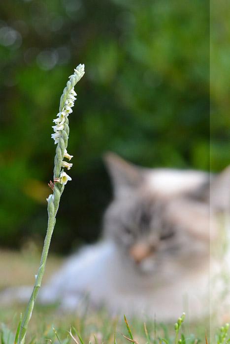 Spiranthes spiralis  ( Spiranthe d'automne ) Jlr_5910