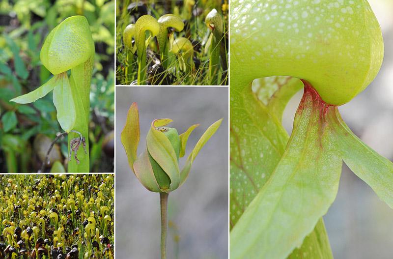 [USA] – Côte Ouest, de la Californie à l'état de Washington - Page 3 Ophrys10