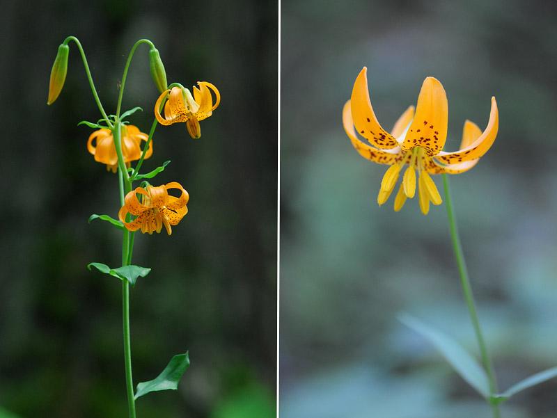 [USA] – Côte Ouest, de la Californie à l'état de Washington - Page 3 Ophrys12