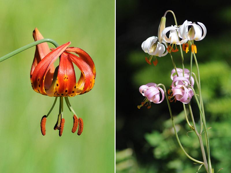 [USA] – Côte Ouest, de la Californie à l'état de Washington - Page 3 Ophrys13
