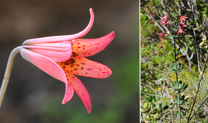 [USA] – Côte Ouest, de la Californie à l'état de Washington - Page 3 Ophrys14
